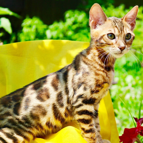 Edvin purebred Bengal male kitten