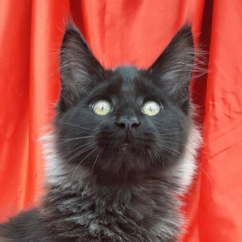 Amira Maine Coon in a black color