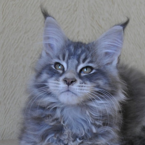 Topaz Maine Coon in a blue marble color