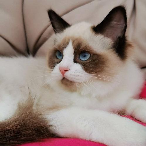 Barbara Ragdoll female kitten