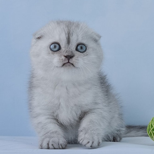 Quentin Scottish fold male kitten