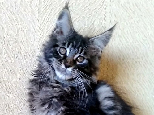 Marcus Maine Coon in a black marble color