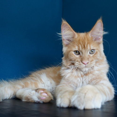 Orfei Maine Coon in a red color