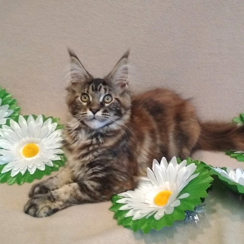 Quinella Maine Coon in a tortoiseshell marble color