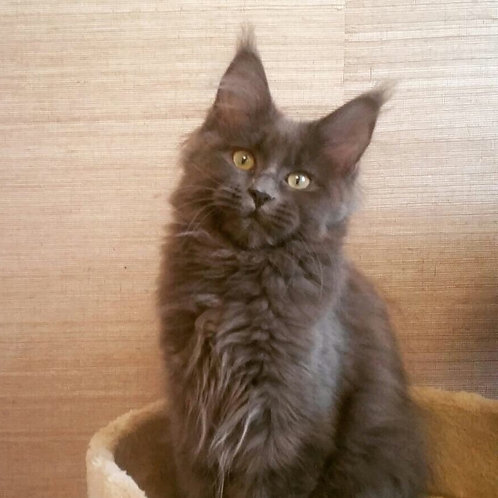 Blueberry Maine Coon in a blue solid color
