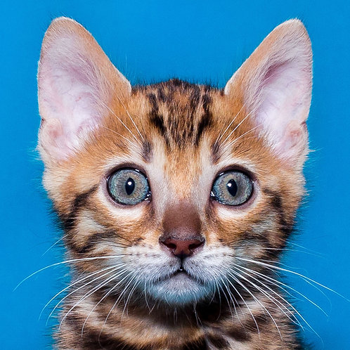 Donatello purebred Bengal male kitten