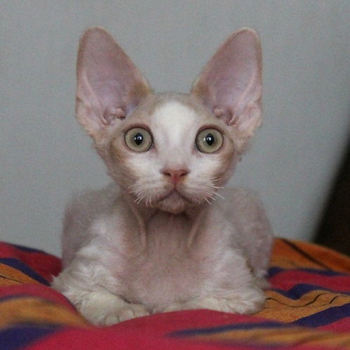 Dobby cream with white male kitten Devon Rex