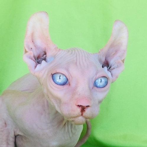 Luchiano Elf male kitten with blue eyes