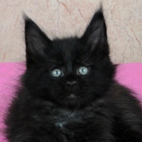 Black Lovelace Maine Coon in a black color