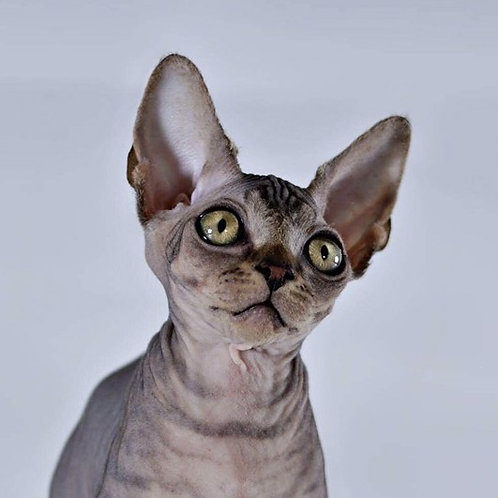 Tony Bambino male kitten