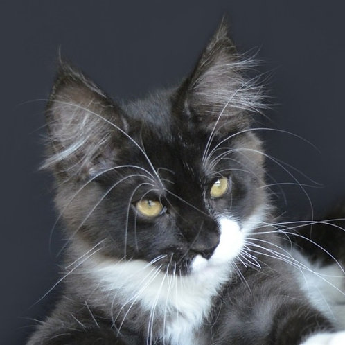 Mirage Maine Coon in a black bicolor color