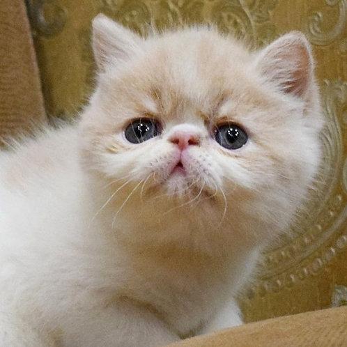 Lapushka cream harlequin color Exotic shorthair female kitten