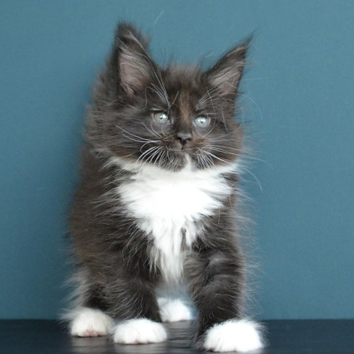 Omega Maine Coon in a black bicolor color