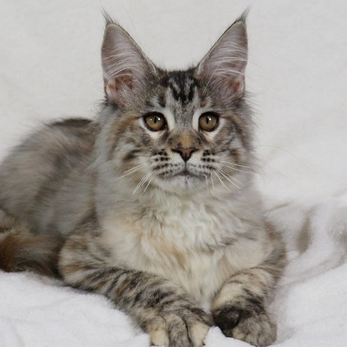 Sensa Maine Coon in a tortoiseshell silver spotted color