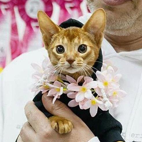 Drogo purebred Abyssinian male kitten