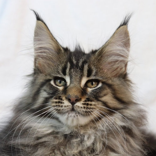 Sokrat Maine Coon in a black tiger color
