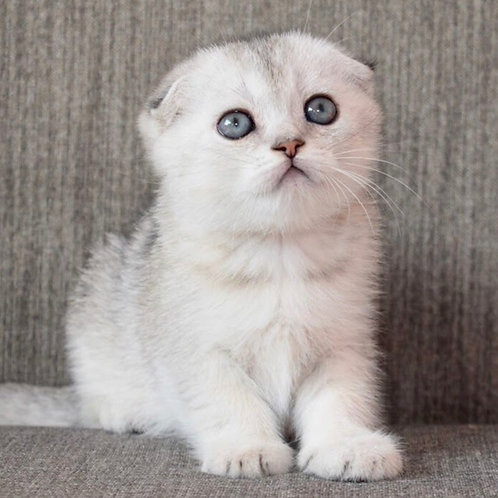 Johnny Scottish fold male kitten
