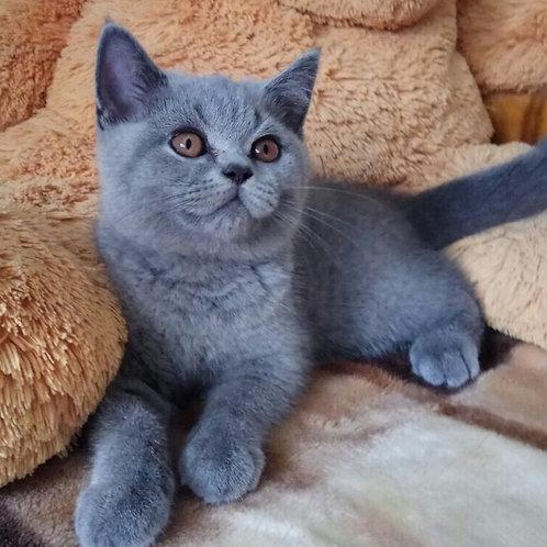 Tima British shorthair male kitten