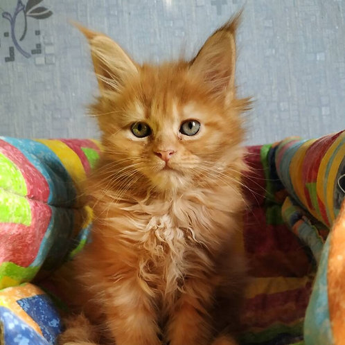 Jada Maine Coon in a red marble color