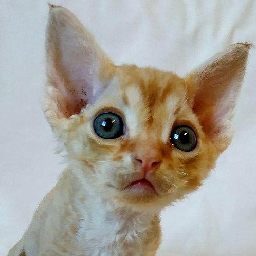 Hariton cream spotted male kitten Devon Rex