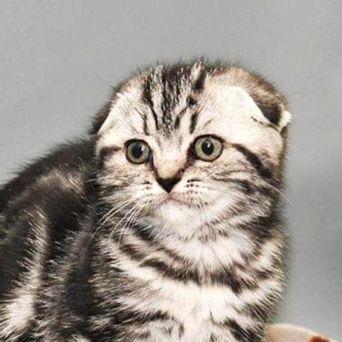Wanessa Scottish fold female kitten