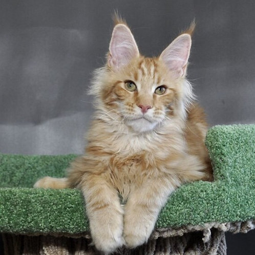 Aslan Maine Coon in a red marble color