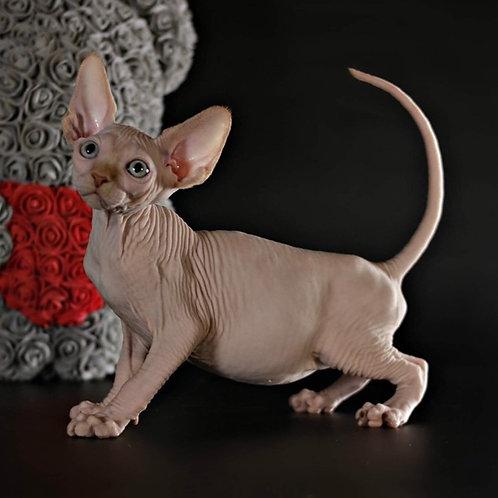 Marlboro Sphynx male kitten in cream mink color