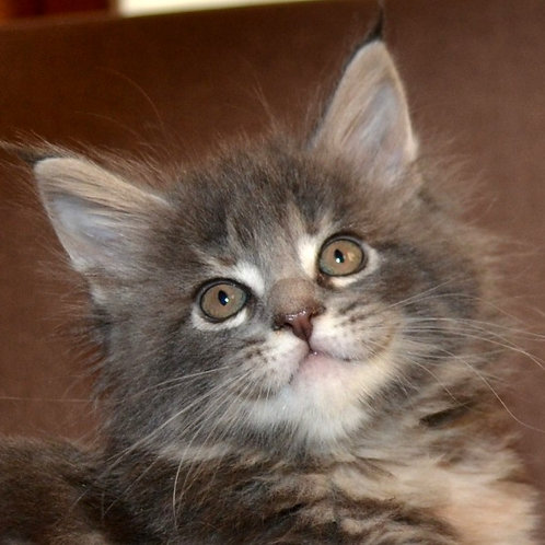 Assol Maine Coon in a blue-cream marble color