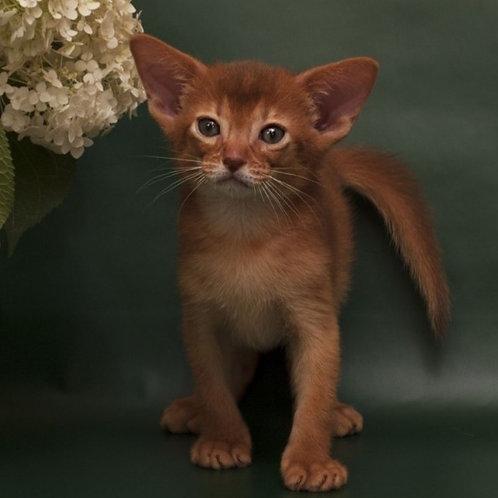 Fox purebred Abyssinian male kitten