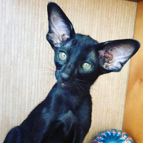Merlin Faithful Oriental female kitten