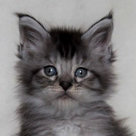 Dantes Maine Coon in a black silver color