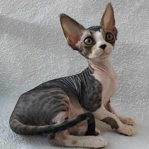 Jacky brown spotted tabby&white female kitten Devon Rex