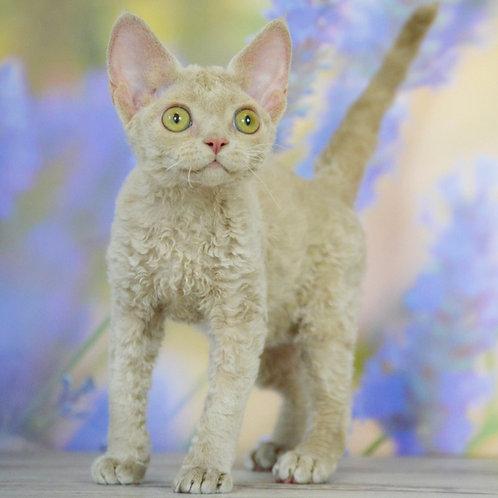Ulyana fawn color female kitten Devon Rex