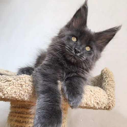 Magnum Maine Coon in a blue color