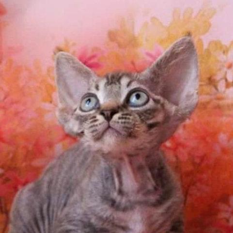 Erik choсolate tabby color male kitten Devon Rex