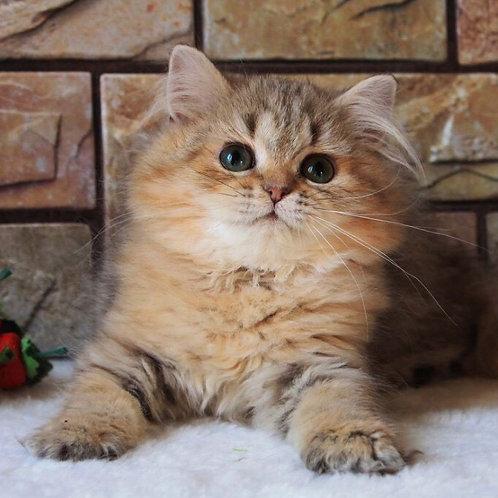 Armin British longhair female kitten