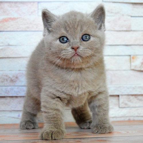 Halk British shorthair male kitten