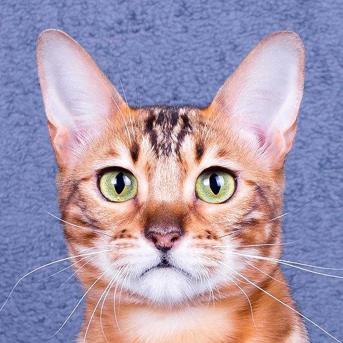 Jiraiya purebred Bengal female kitten