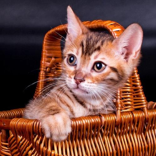 Ultron purebred Bengal male kitten