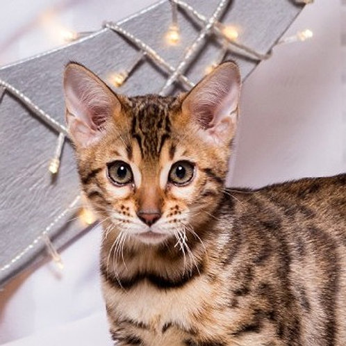 Businka purebred Bengal female kitten