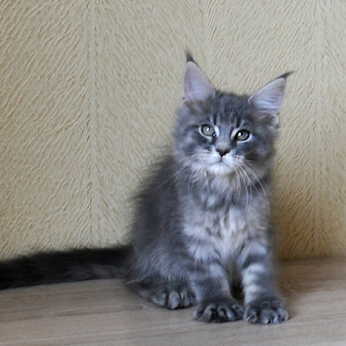 Moonlight Maine Coon in a blue spotted color