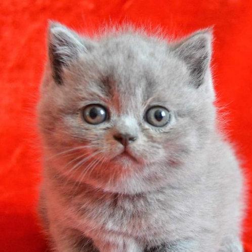 Verona purebred British shorthair female kitten