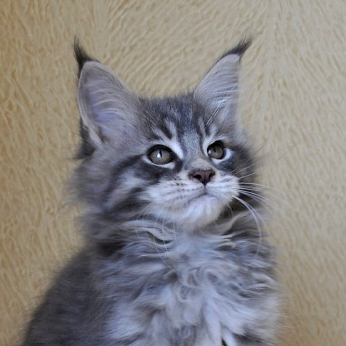 Taker Maine Coon in a blue spotted color