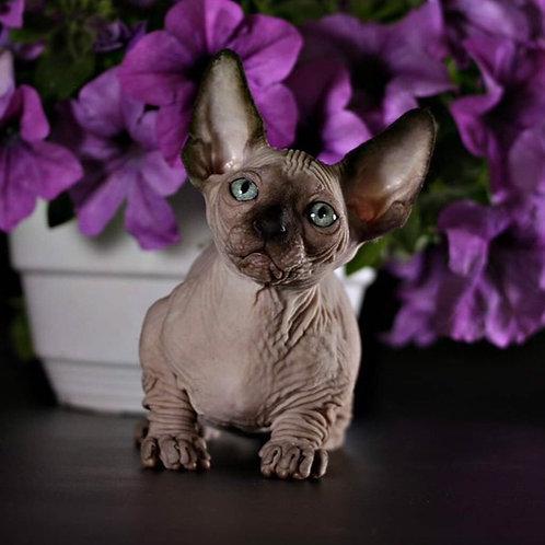 Marcipan Bambino male kitten in seal mink color