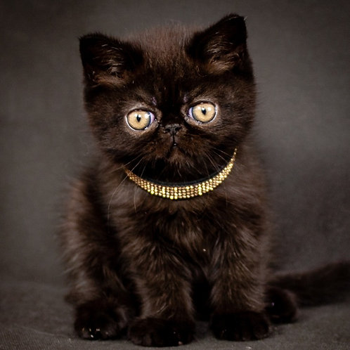 Lovelace black color Exotic shorthair male kitten