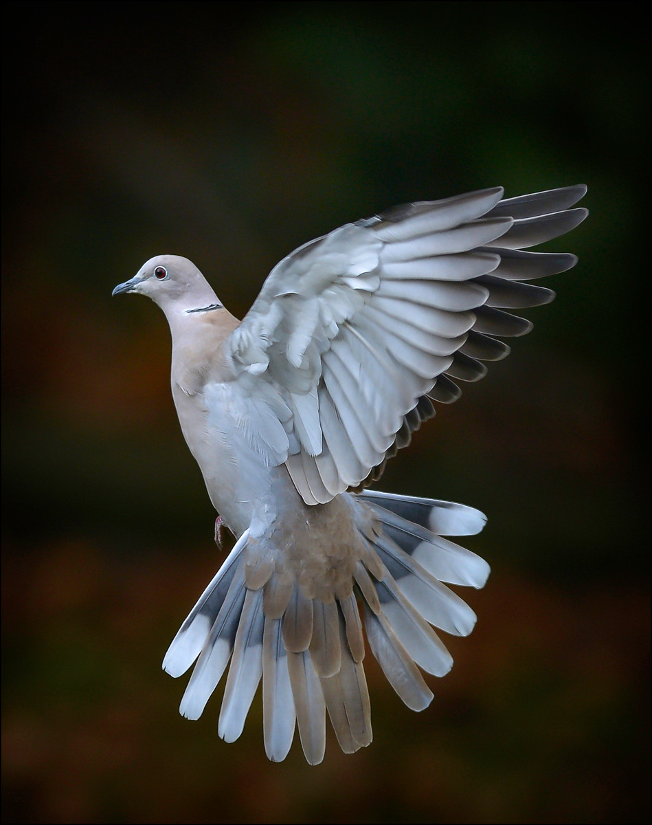 PDI - Collared Dove by Alan Hillen (14 marks) - Starred
