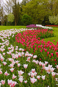 Colorful River of Tulips