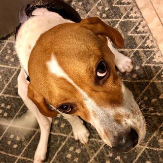 Lucky the Beagle