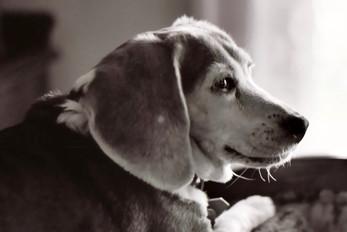 Belle the Beagle