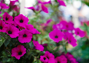 Magenta Petunias